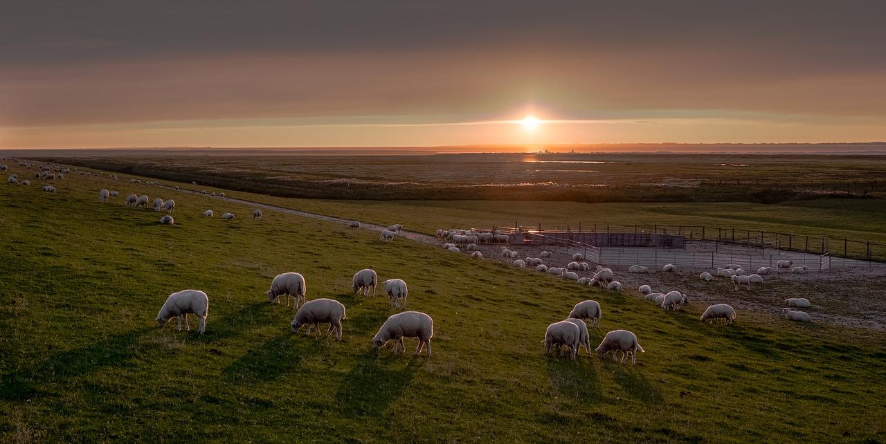 Schafe in Ostfriesland